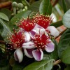 Pineapple_guava_bloom