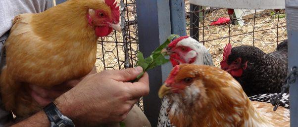 Chicken Brigade