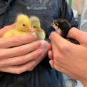 New Chicks (and Goslings) on the Block